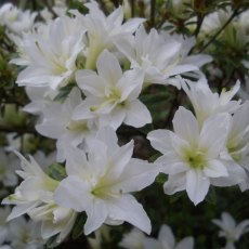 Evergreen Azalea Kure-no-yuki