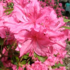 Evergreen Azalea Louise Dowdle