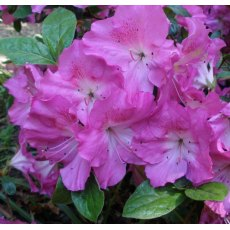 Evergreen Azalea Martha Hitchcock