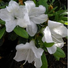 Evergreen Azalea Pleasant White
