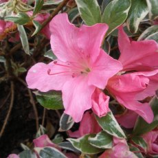 Evergreen Azalea Salmon's Leap