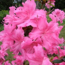 Evergreen Azalea Shelley