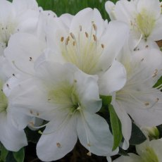 Evergreen Azalea Snow Hill AGM