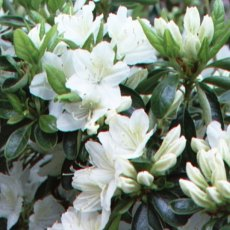 Evergreen Azalea Snow White