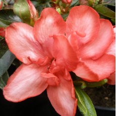 Evergreen Azalea Valentine Surprise
