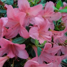 Evergreen Azalea Wombat  AGM