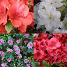 Amazing Evergreen Azalea Collection  (4 choice plants)