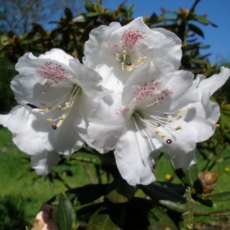 Rhododendron aberconwayi 'His Lordship'