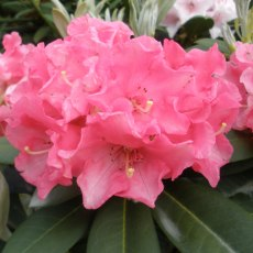 Rhododendron Amity