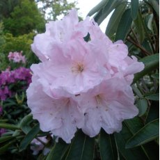 Rhododendron Angelo (SP #2)