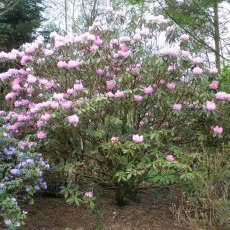 Rhododendron argyrophyllum 'Chinese Silver'  AGM