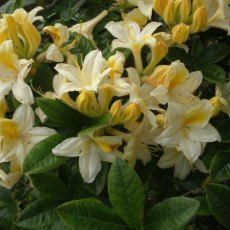 Deciduous Azalea Crosswater Cream and Gold