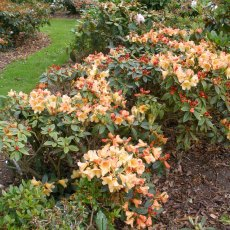 Rhododendron Bergie Larson AGM