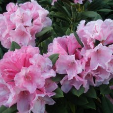 Rhododendron Birthday Girl