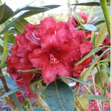 Rhododendron Black Magic