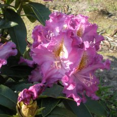 Rhododendron Blue Hawaii