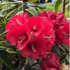 Rhododendron Choremia 'Tower Court'  AGM