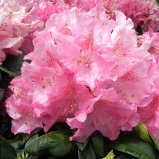 Rhododendron Constanze INKARHO