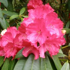 Rhododendron Cornish Red
