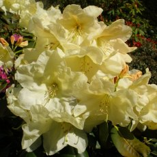 Rhododendron Crest  AGM