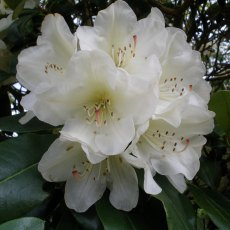 Rhododendron Dairymaid