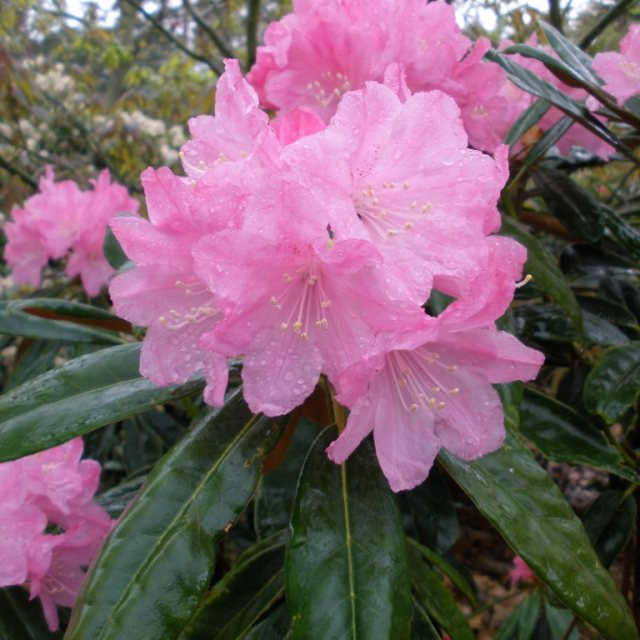 Rhododendron degronianum heptamerum 'Ho Emma'