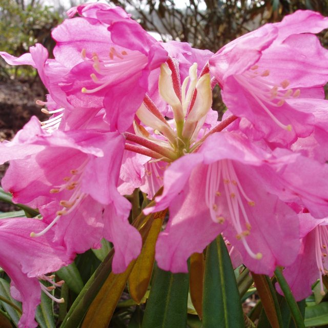 Rhododendron degronianum 'Rae's Delight'