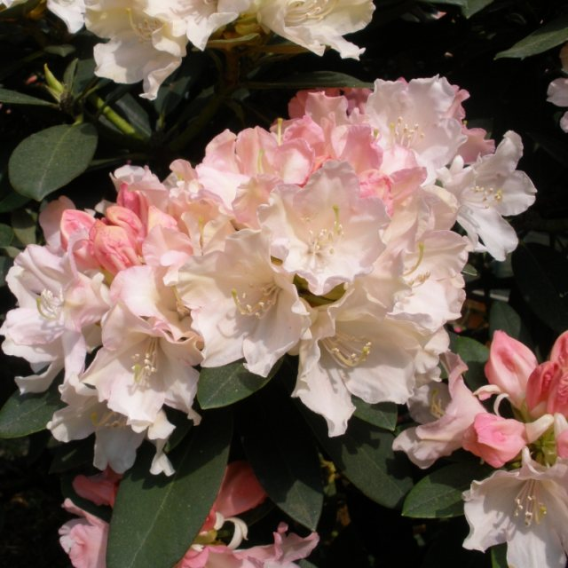Rhododendron Dreamland  AGM STANDARD