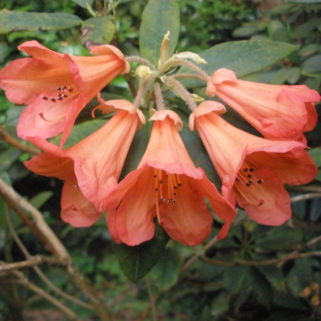 Rhododendron Fabia (FCC form) AGM