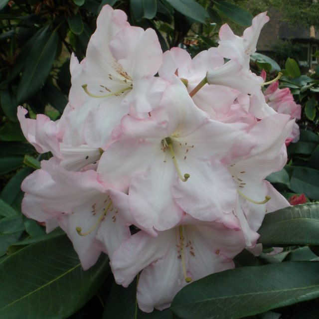 Rhododendron Faggetter's Favourite  AGM