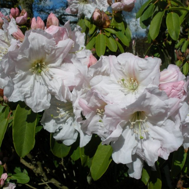 Rhododendron fortunei AGM