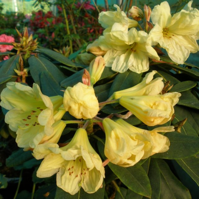 Rhododendron Golden Wedding