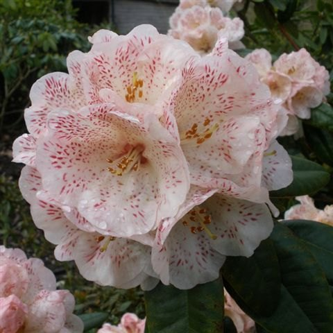 Rhododendron Hille
