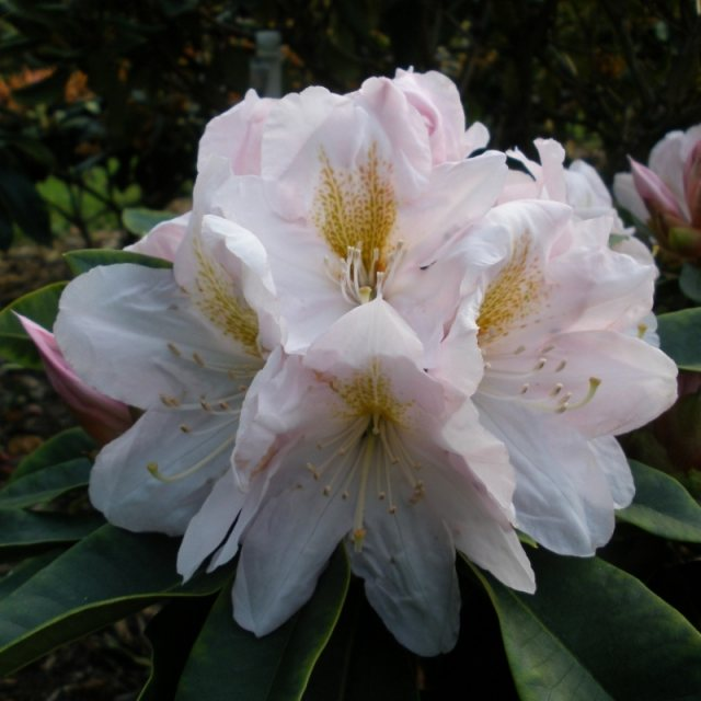 Rhododendron James Burchett  AGM