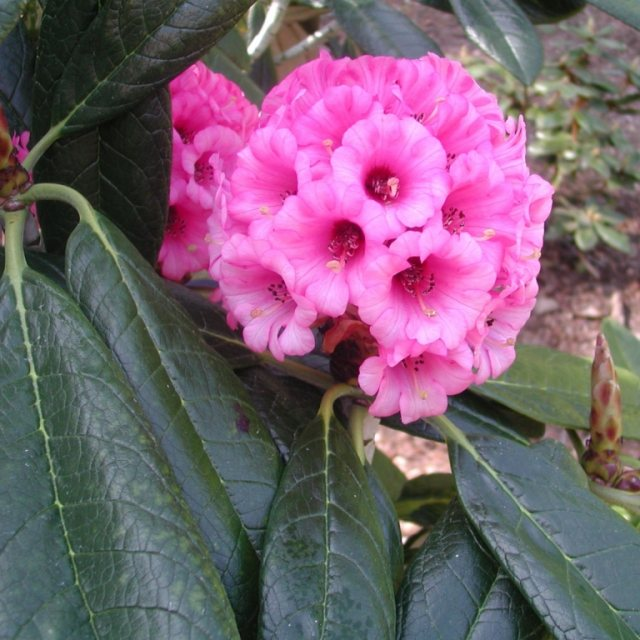 Rhododendron kesangiae