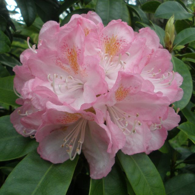 Rhododendron Lady Clementine Mitford AGM