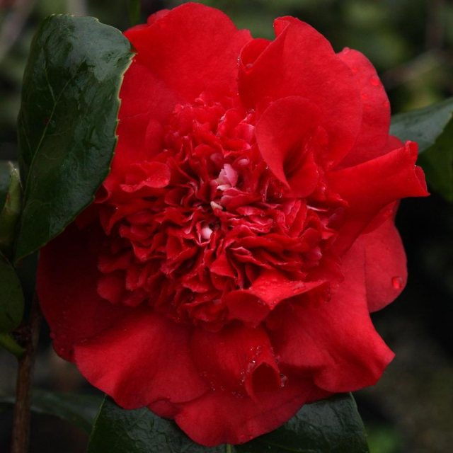 Camellia x williamsii 'Ruby Wedding'  AGM