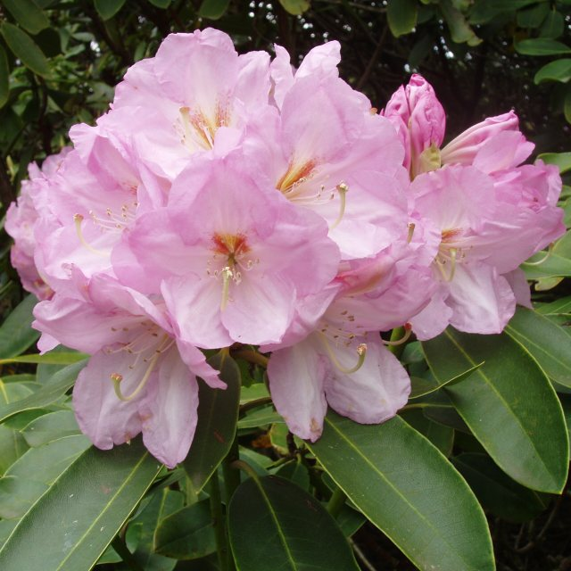 Rhododendron Lavender Girl  AGM