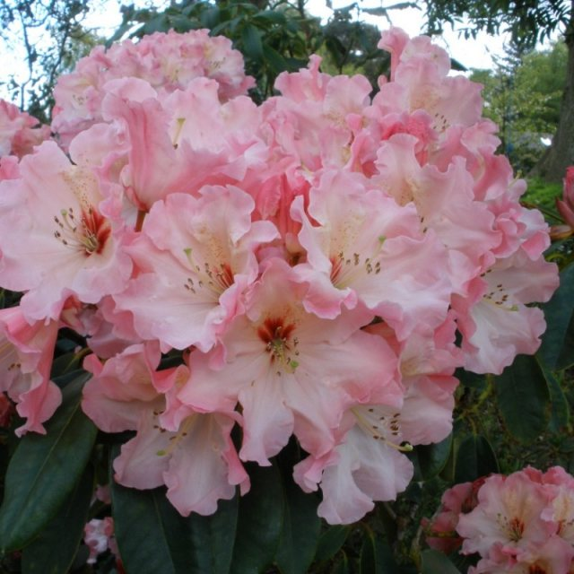 Rhododendron Lem's Cameo  AGM