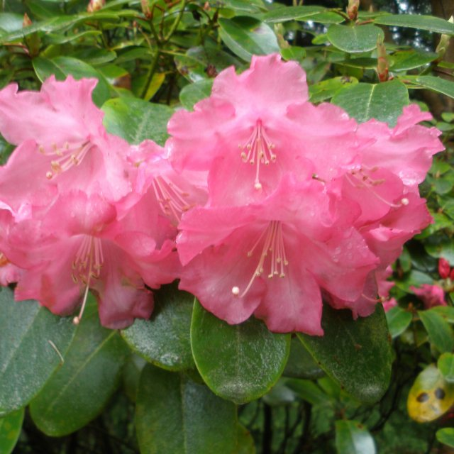 Rhododendron Linda  AGM