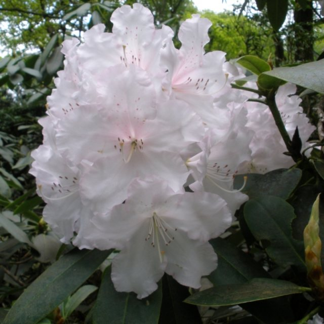 Rhododendron Loder's White  AGM