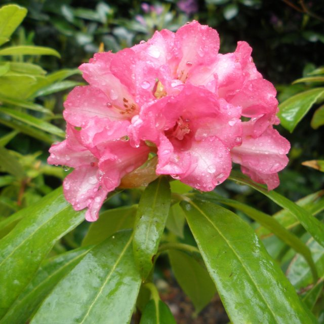Rhododendron longipes
