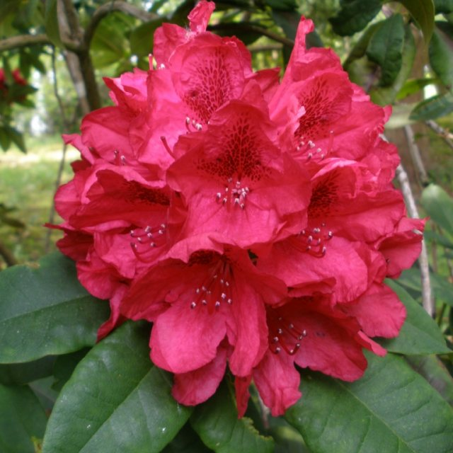 Rhododendron Lord Roberts  AGM
