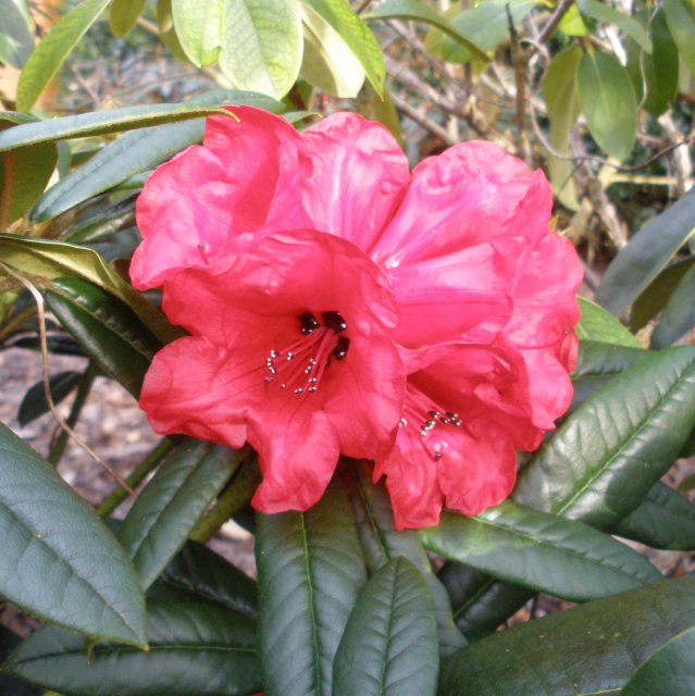 Rhododendron Maxine Childers