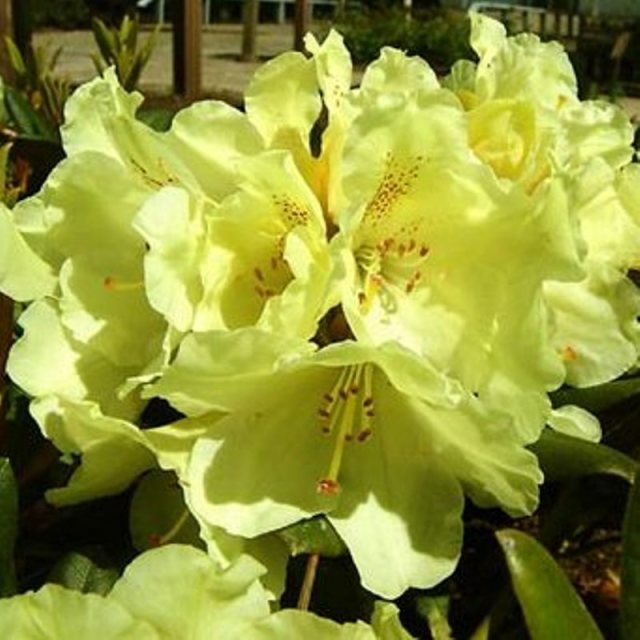 Rhododendron Millennium Gold Buy Millenium Gold Rhododendrons