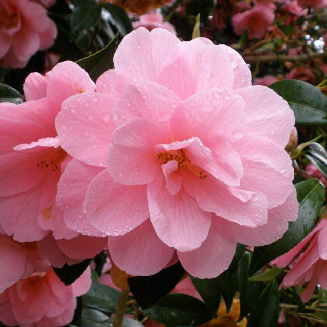 Camellia x williamsii 'Donation'  AGM