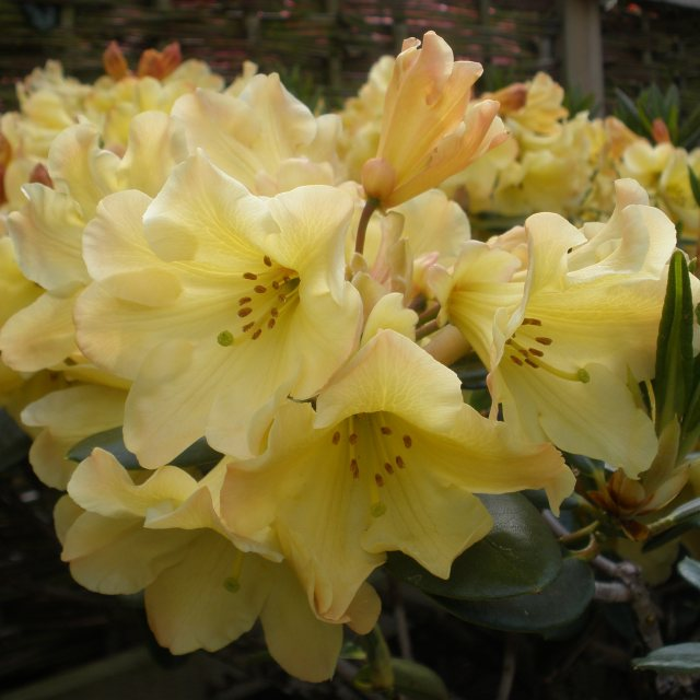 Rhododendron Nancy Evans AGM