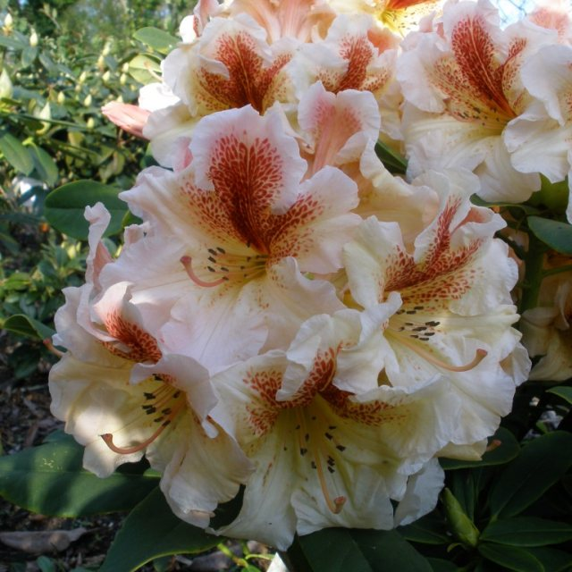 Rhododendron Peggy