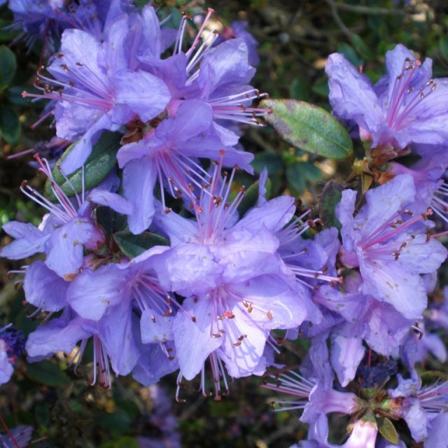 Rhododendron Penheale Blue  AGM