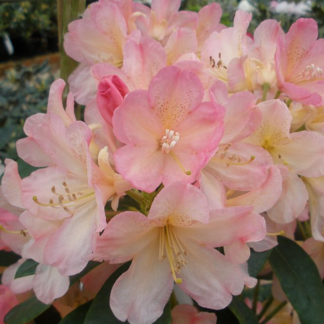 Rhododendron Percy Wiseman  AGM